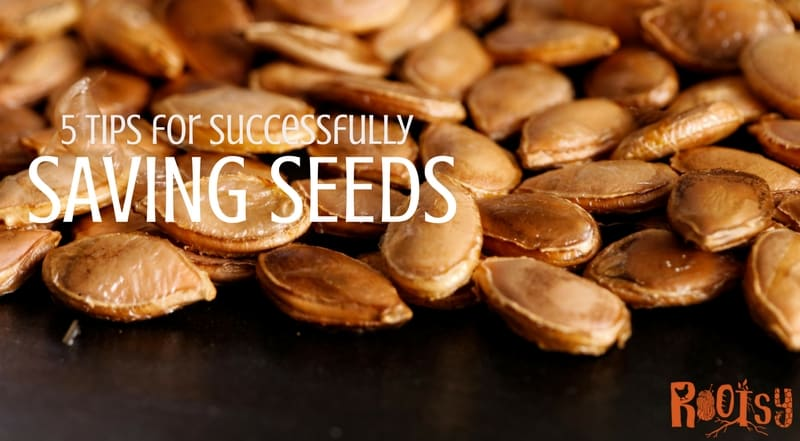 Successfully saving seeds is easy once you know where to start. Save money on seed purchases and have a steady source of seeds to plant for years to come.