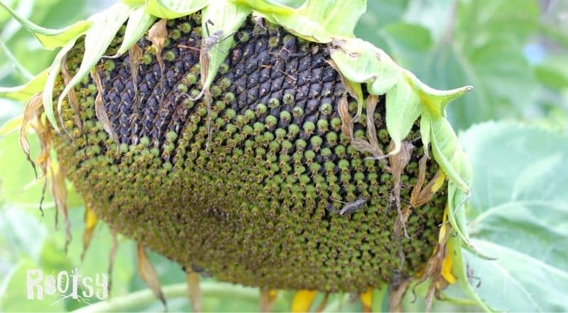 large sunflower head going to seed