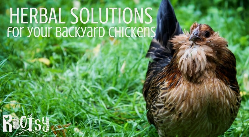 Herbal Solutions for Your Chickens