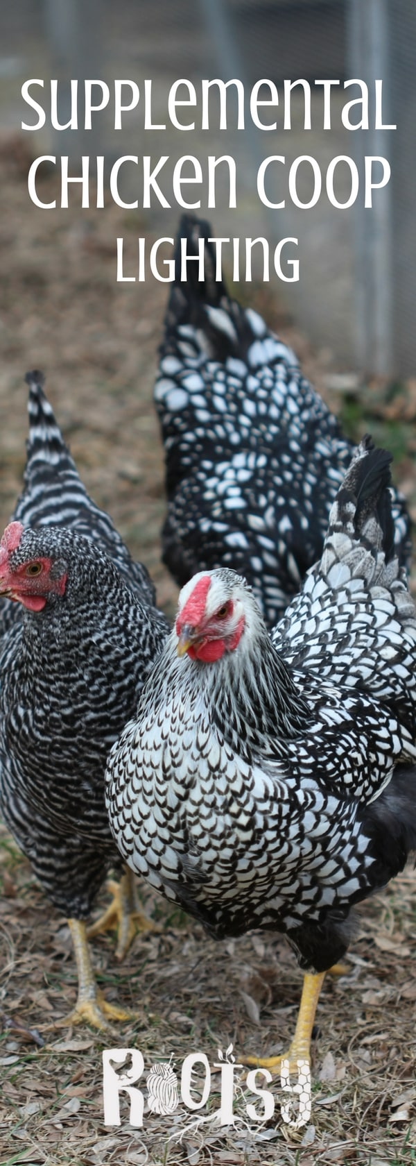 Experiencing the ebb and flow of egg production? You can safely provide supplemental chicken coop lighting when you take these factors into consideration. | Rootsy.org