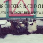 Keeping Chickens in Cold Climates. Having backyard chickens is a great place for new homesteaders to start, as they're pretty easy to care for. Add a cold climate and it becomes intimidating. But don't worry, we have everything here you need for keeping chickens in cold climates! Rootsy.org