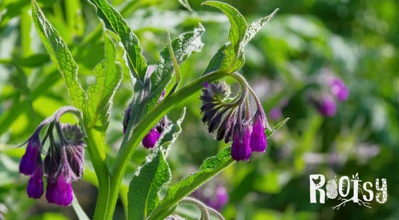 image of flowering comfrey