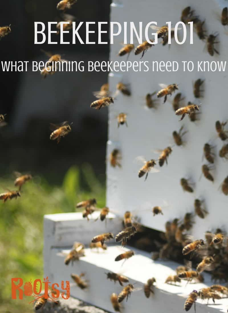 Learn what all beginning beekeepers need to know before they get bees. How to set up the apiary, what beekeeping supplies are needed, and other beekeeping questions are answered in this article | Rootsy.org