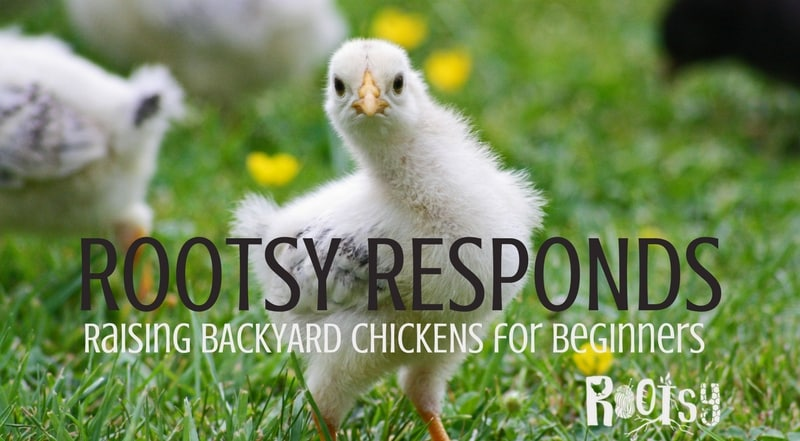 Raising backyard chickens for beginners. We asked The Rootsy Community what they thought a beginner needs to know to be successful. We call it CSA, Community Supported Answers! Rootgy.org
