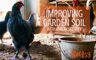 Improving Soil with Chicken Litter