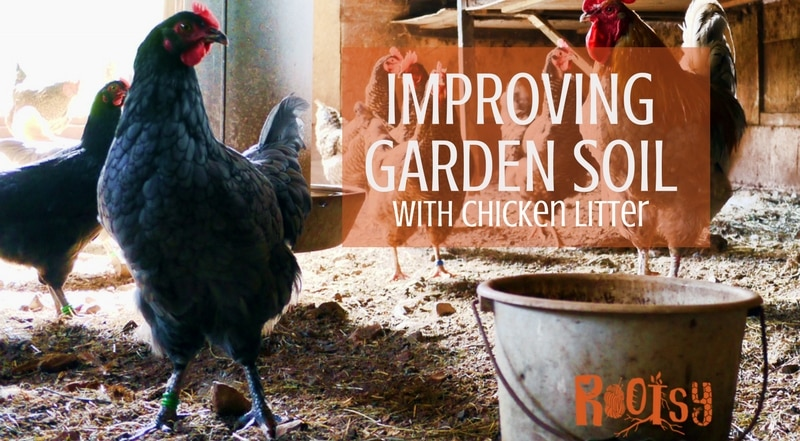 chickens in the barnyard. Improving soil with chicken litter is an organic method for feeding your garden and a way to use your used livestock bedding.One of the perks of homesteading is that you can use waste from one area to enhance or grow another area. Rootsy.org