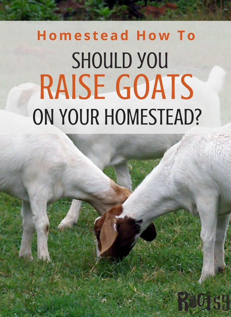 Should you raise goats on your homestead? There is much to consider when deciding to raise goats on your homestead. Find out what you need to know before you begin and where to get that knowledge to be successful. Rootsy Network