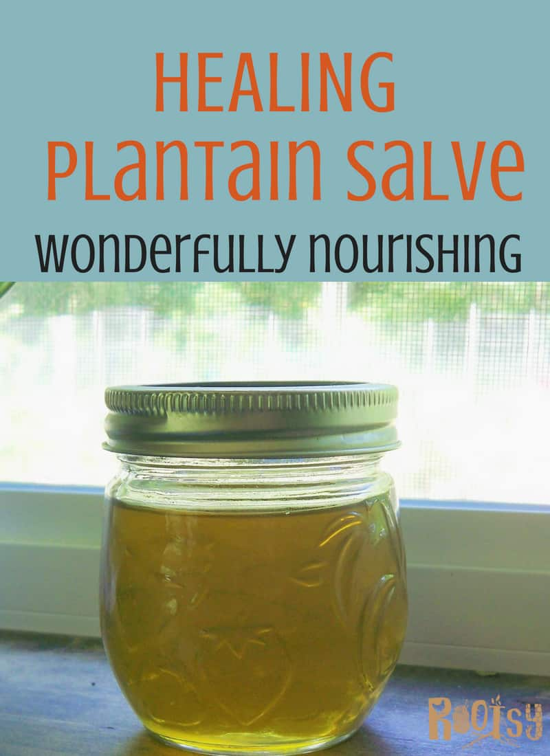 plantain salve in a small jar. Of all the medicinal plants celebrated for their skin-healing powers, plantain is one of the most revered. Healing plantain salve can be wonderfully nourishing to your skin. Every home should have some ready for the next cut, scrape, sting or bite. Make some today! Rootsy