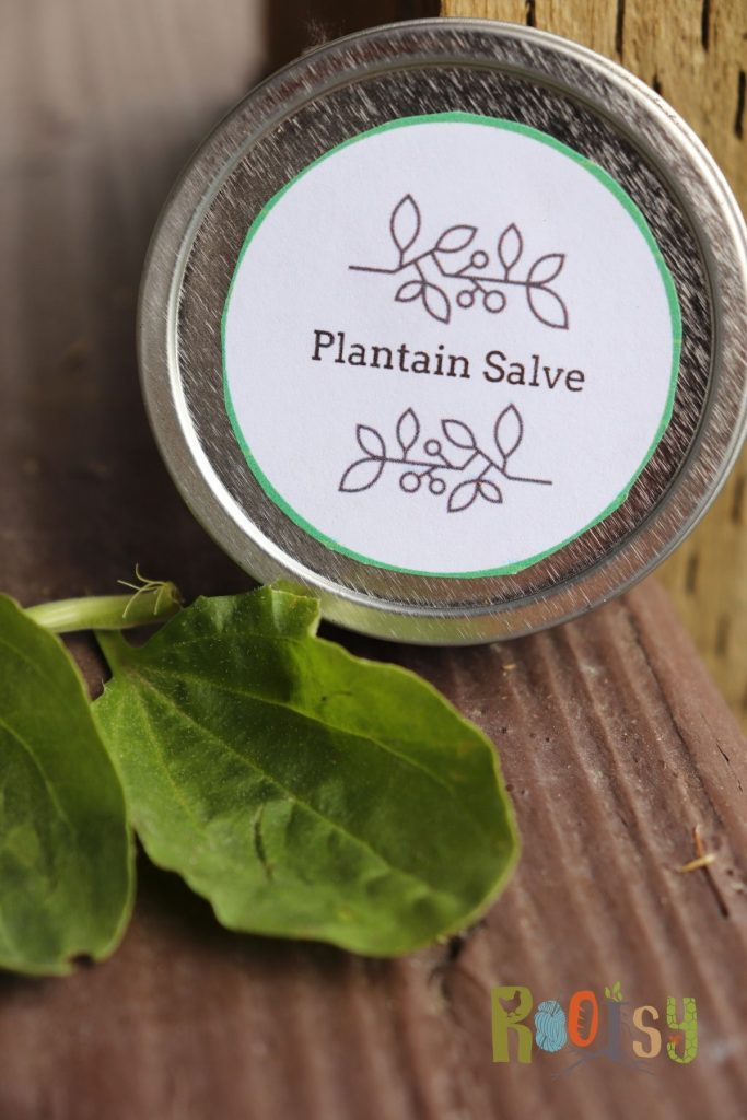 A round metal tin with white label stating: plantain salve propped up against a wall surrounded by fresh plantain leaves.