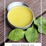 An open tin of plantain salve surrounded by fresh plantain leaves on a table with text overlay stating: how to make and use plantain salve.