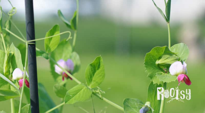 photo of pea blooms. Cover crops are an easy way to suppress weeds, build soil and attract beneficial insects. Learn how to grow buckwheat, Austrian peas, rye, oats, and hairy vetch to cover bare soil and use as green manure.