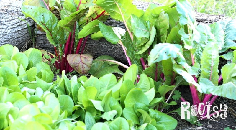 Swiss chard growing in a garden bed.