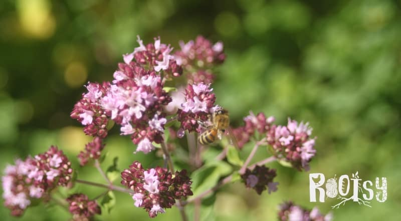 A honeybee on oregano flowers in the herb garden