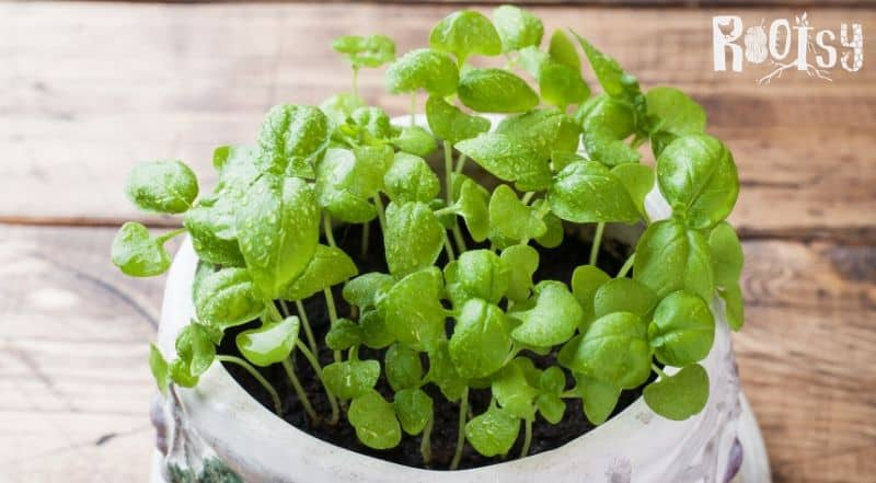 image of micro basil growing in flower pot