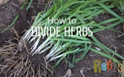 How to Divide Herbs