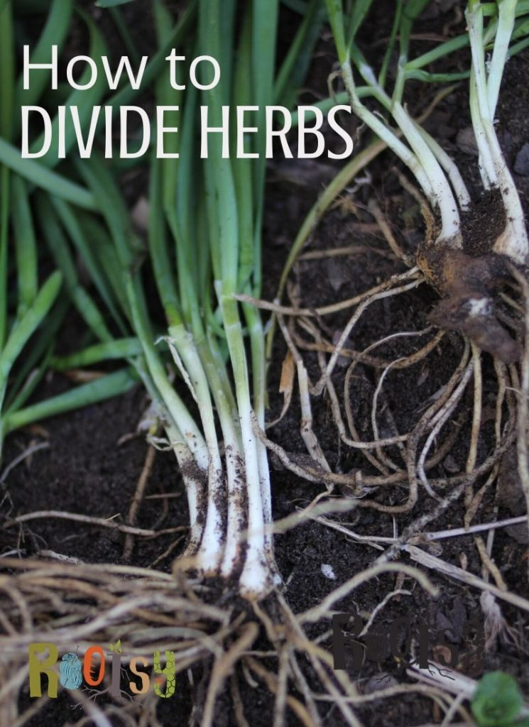 Chive roots sitting on garden soil with text overlay.