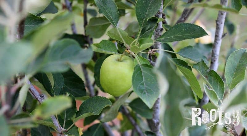 image of apple ripening on tree