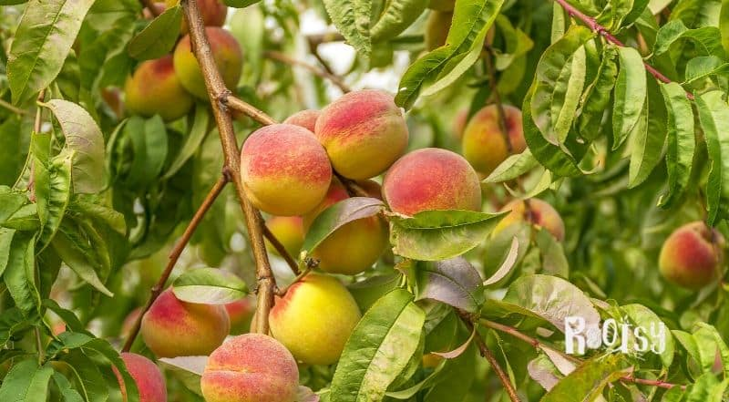 image of peaches growing on a tree