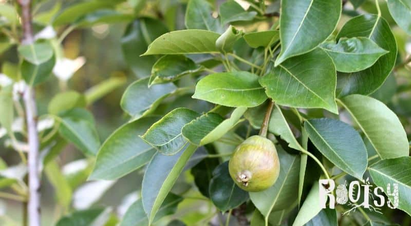 image of immature pear on a tree