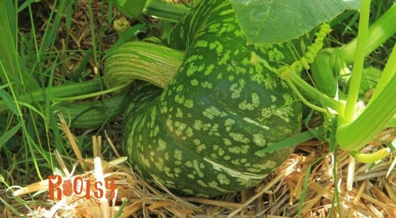 green pumpkin growing on a bed of straw mulch