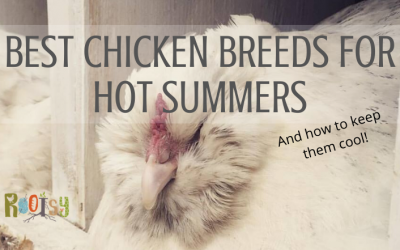 Best Chicken Breeds for Heat and Keeping Them Cool