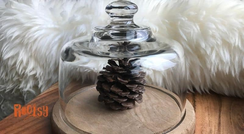 Pinecone under a glass cover