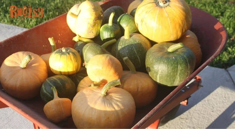 Pumpkins and winter squashes piled into a red wheelbarrow.