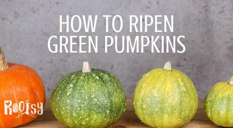 Green and orange pumpkins lined up on a table with text overlay reading: how to ripen green pumpkins.