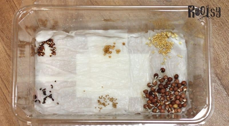 pregerminating seeds in plastic container with paper towels