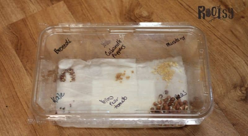 presprouting seeds on a paper towel. Kale, peas, broccoli, peppers, tomatoes, and mustard seeds pregerminating