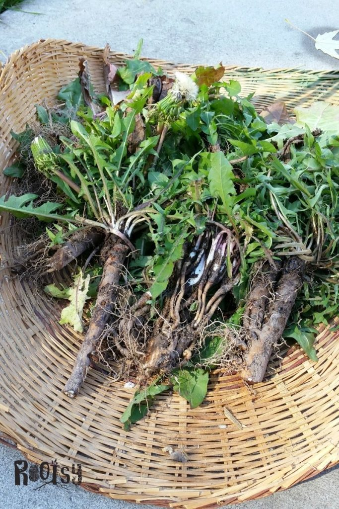 Freshly harvested dandelion roots with greens attached in a basket.