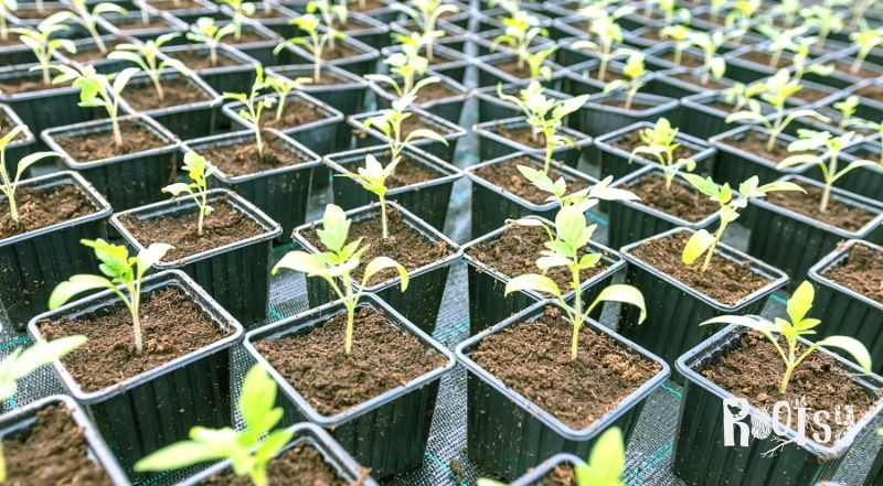 Tomato seedlings in black plastic pots lined up on a table.