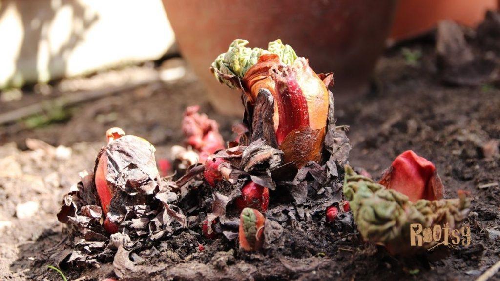 Planting rhubarb crowns