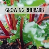 Growing Rhubarb with Rootsy