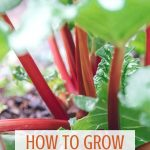 Learn how to plant, grow, and harvest rhubarb